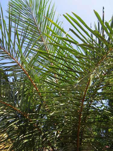 raffia palm